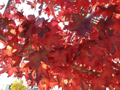 Autumn maple leaves capture the change of the season.